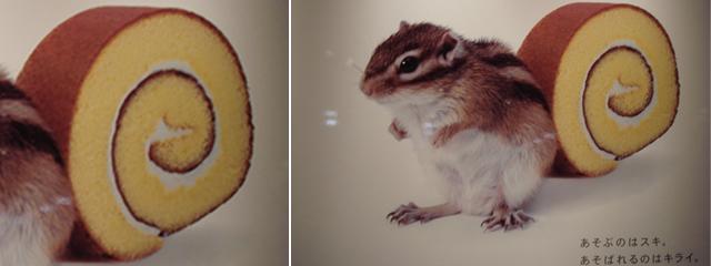 scoiattolo giapponese